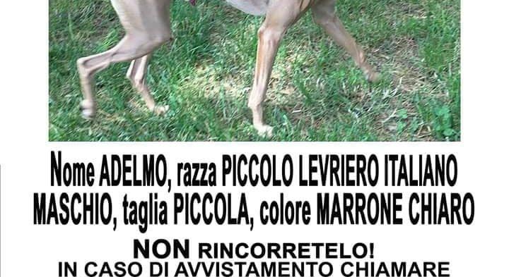 Segnalazione smarrimento piccolo levriero itailano Marina di Massa ma potrebbe essere stato trovato da qualcuno e portato altrove.